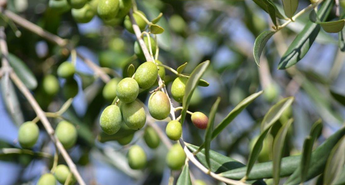 Olive benefits and details – ഒലിവീന്റെ ഗുണങ്ങൾ