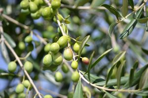 Olives in Malayalam
